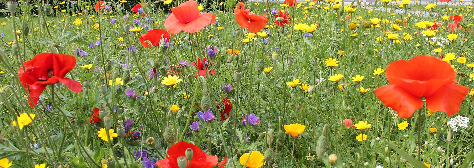 Łąka kwietna. Żółte, czerwone i fioletowe kwiaty na tle zielonej trawy.