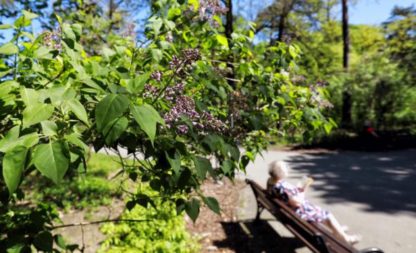 Na zdjęciu widac fragment drzewa bzu, w tle widać siedzącą na ławce kobietę