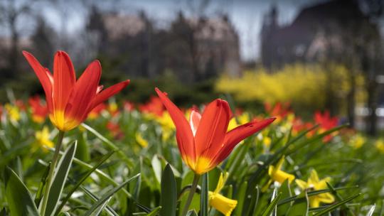 Kwitnące tulipany i żonkile w rejonie pomnika Jana Pawła II