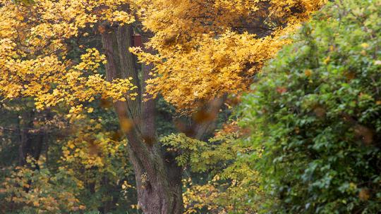 Przebarwione żółto drzewa w Parku Tysiąclecia jesienią, fot. Adam Zakrzewski