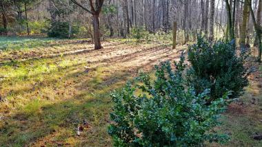 Na zdjęciu widać dwa kszaki bukszpanu rosnące na trawniku
