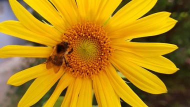 Pszczoła na żółtym kwiatku